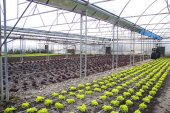 Fotografie Modern farm for growing lettuce