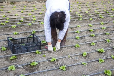 the woman planted the shoots of salad