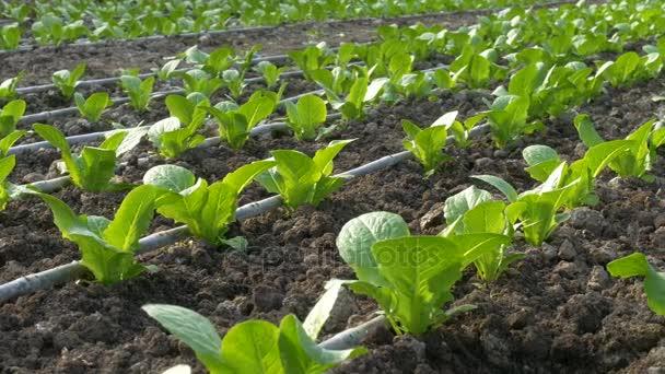 průmyslové skleník se zeleninou