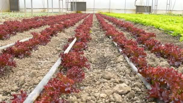 červený salát ve skleníku