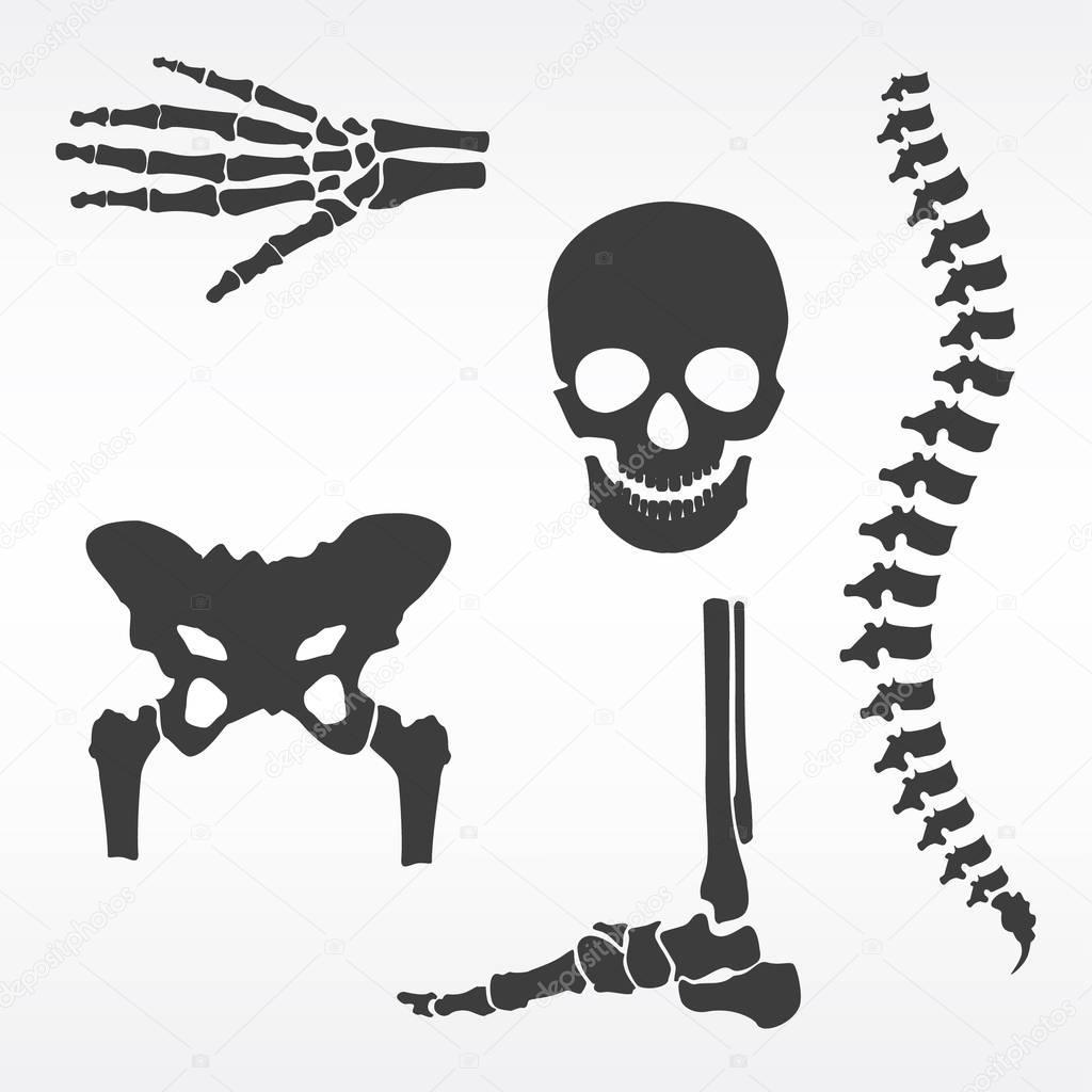 Vector de huesos humanos — Archivo Imágenes Vectoriales ...