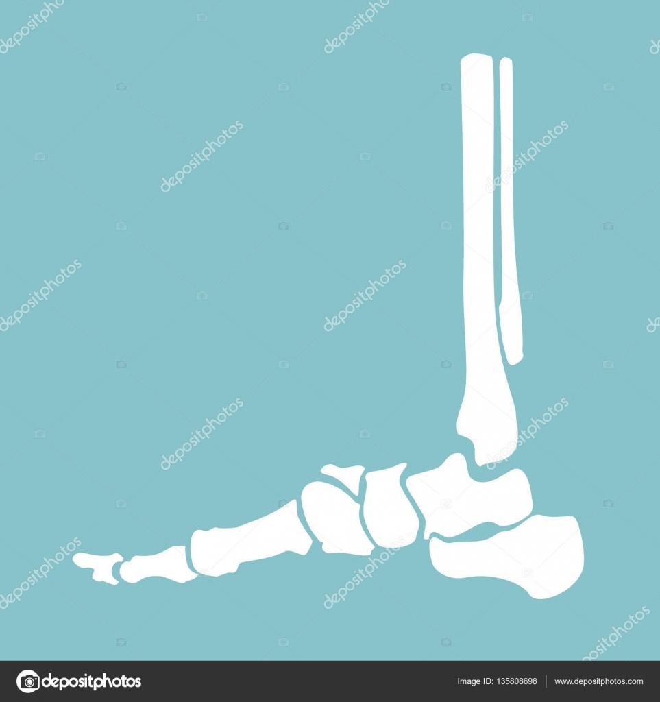 Foot bones anatomy — Stock Vector © viktorijareut #135808698
