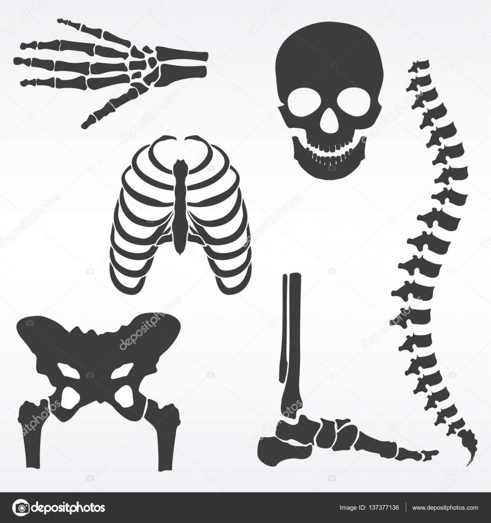 Menschliches Skelett Vektor — Stockvektor © viktorijareut #137377136