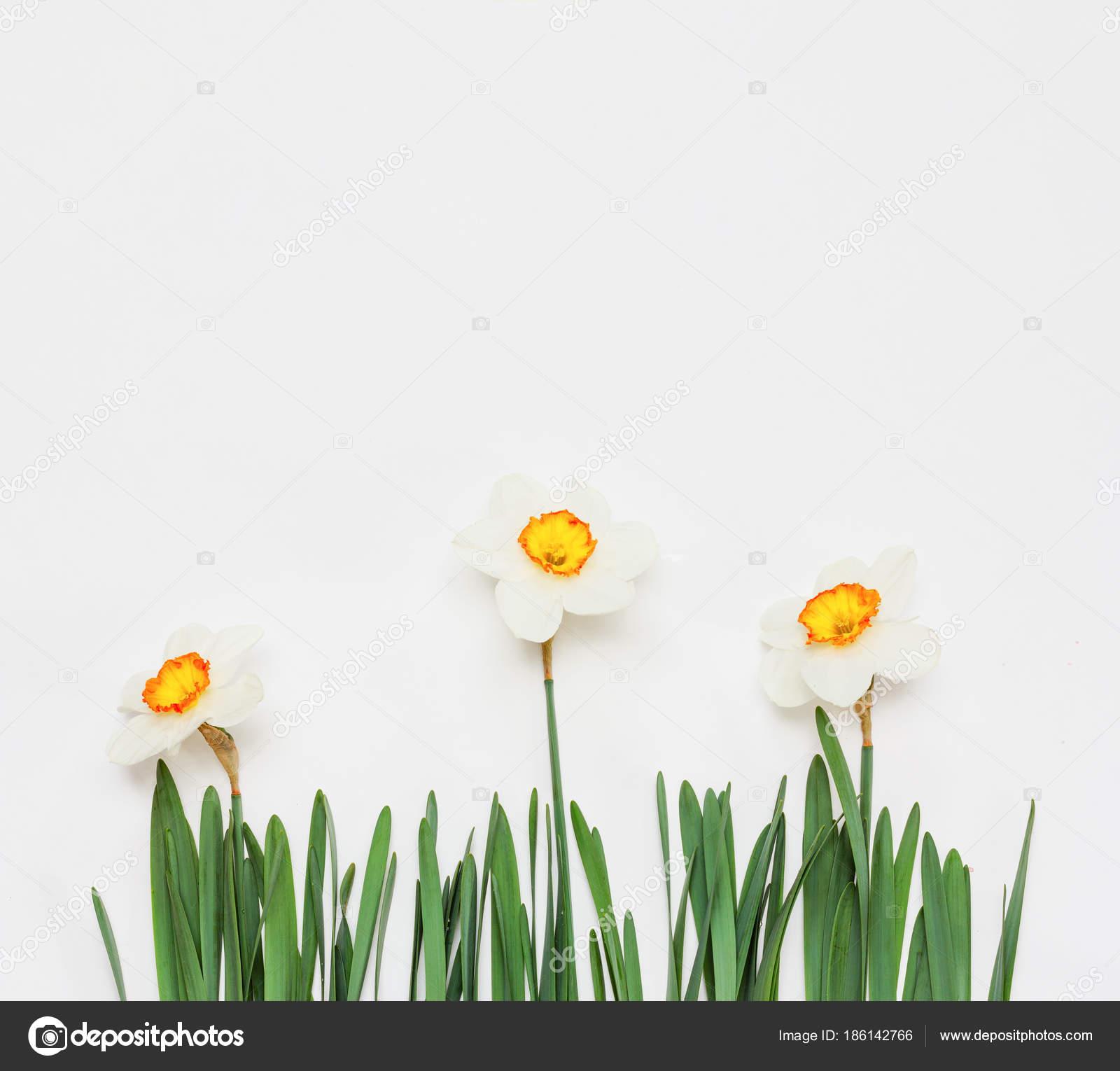 Narciso Flores Sobre Fondo Blanco Mock Para Texto Frases