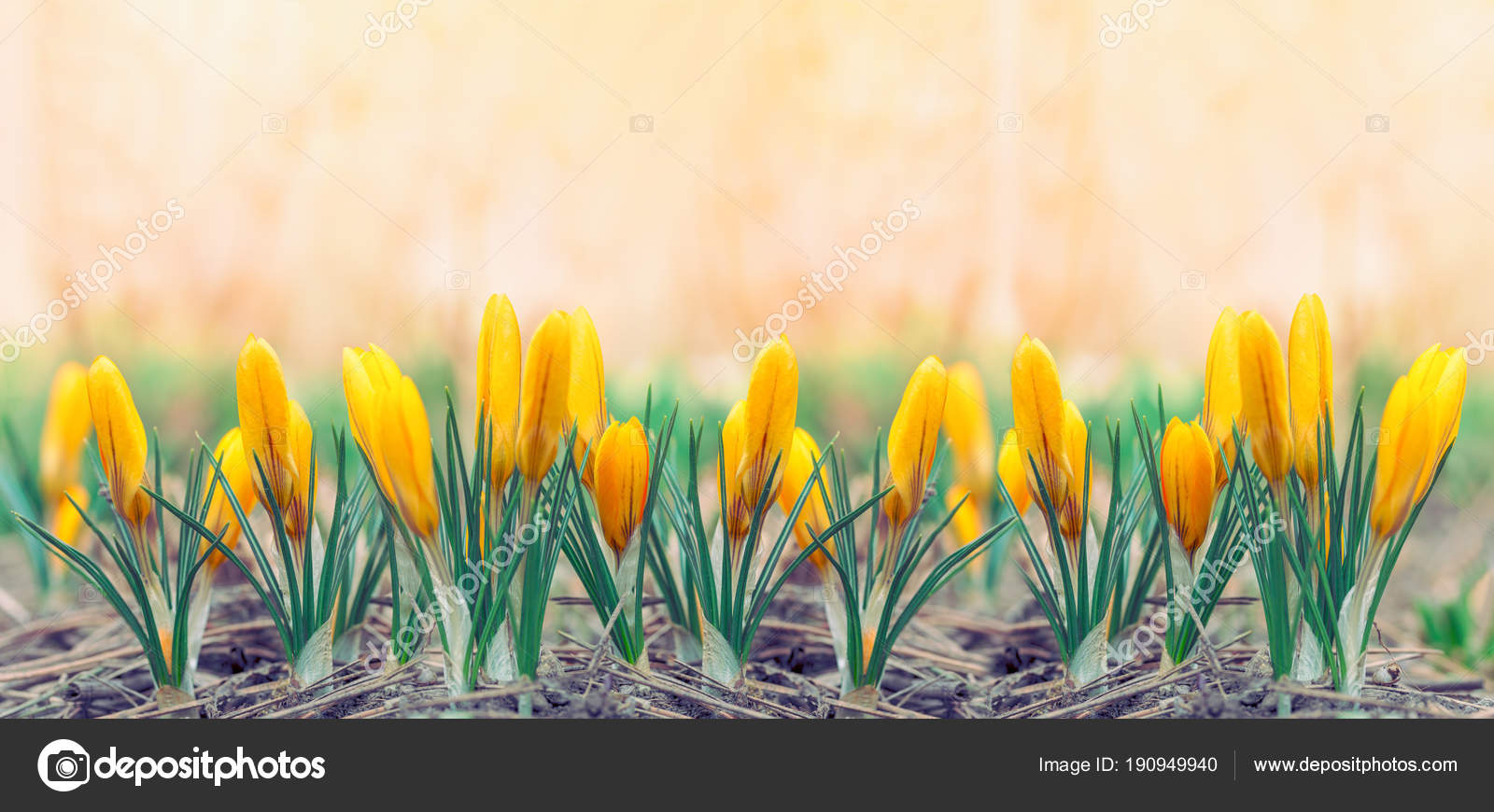 Beautiful Early Spring Yellow Flowers Crocuses Panoramic Photo Front