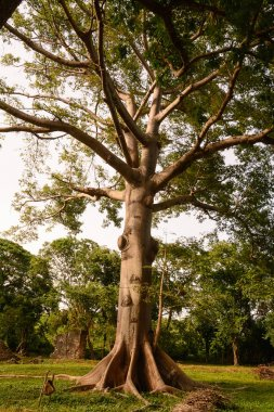 A Ceiba tree that has Cuba is called a tree of peace because und