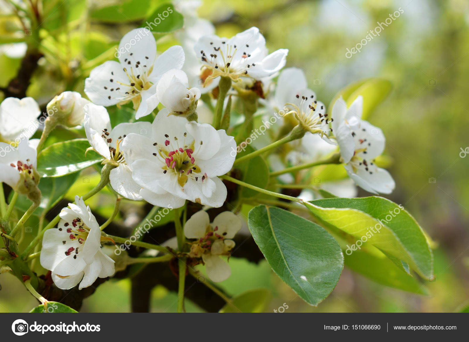 Pear Blossoms White Flowers Of Tree In The Early Spring Stock
