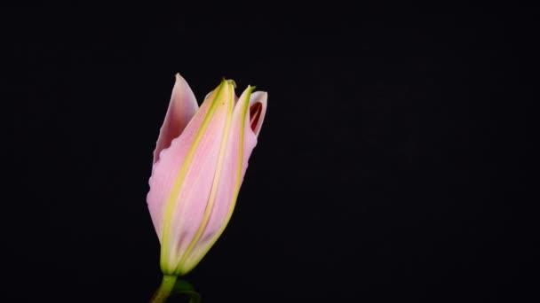 Virágzó liliom virág egy fekete háttér