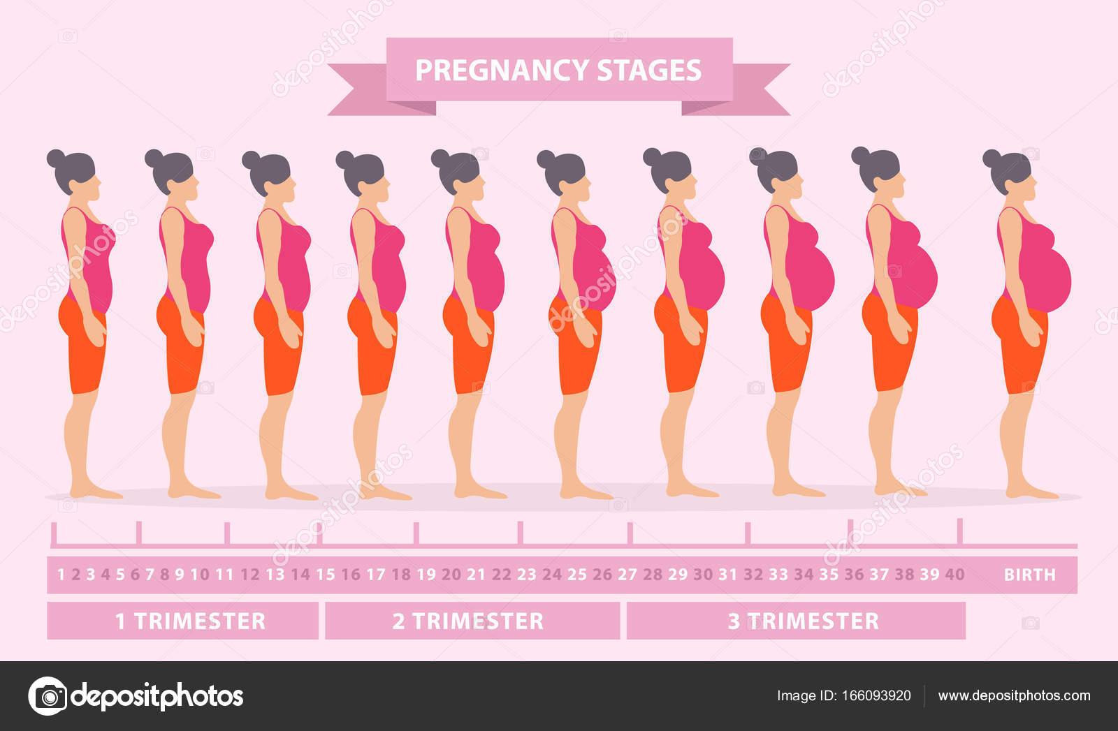 Ilustración Vector Siluetas Mujeres Embarazadas Cambios