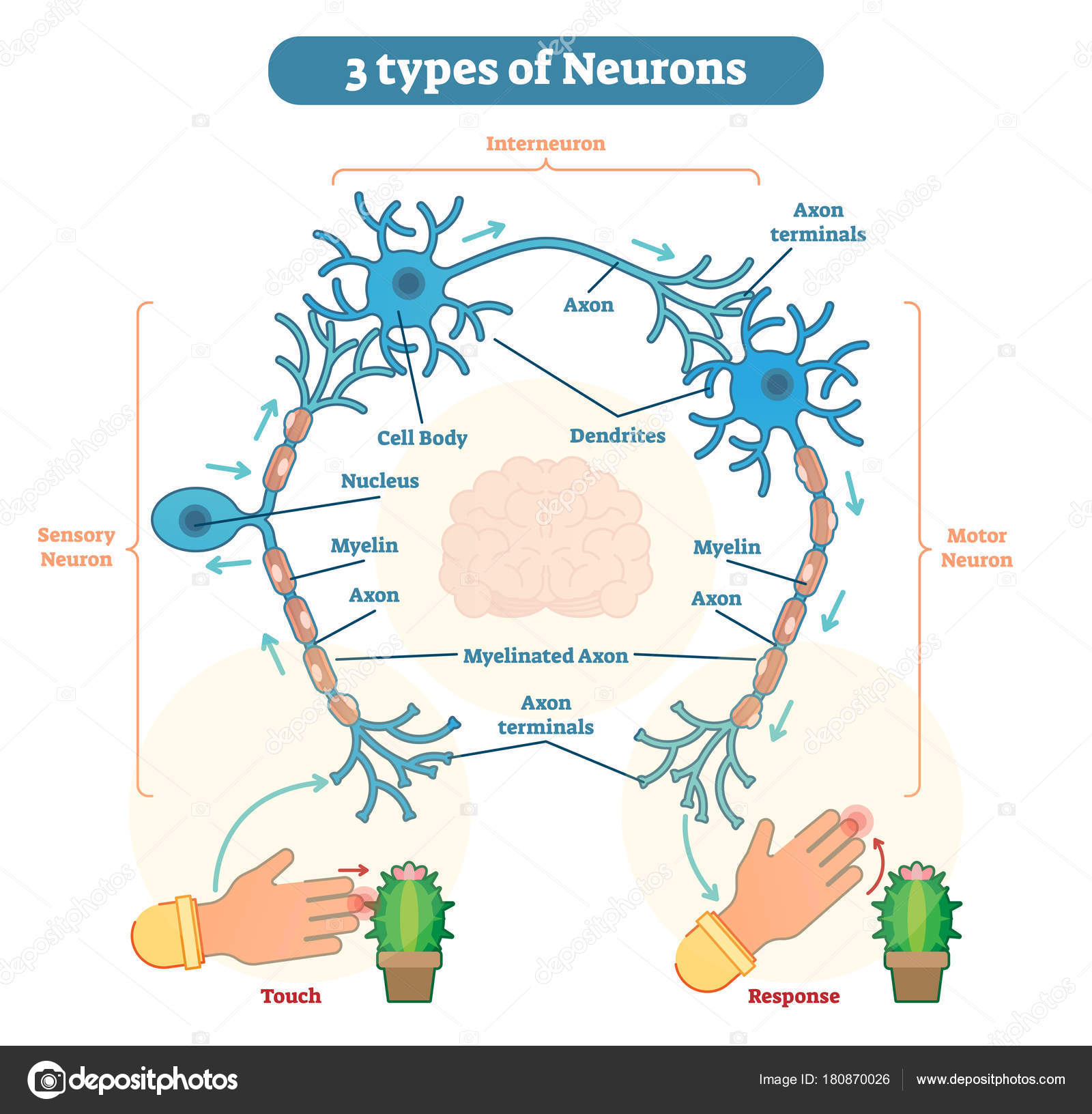 three types of neurons