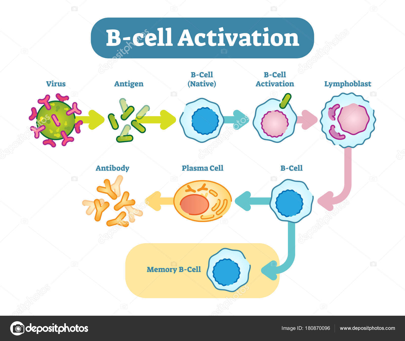 B cell activation diagram vector scheme illustration stock b cells also known as b lymphocytes are a type of white blood cell of the lymphocyte subtype they function in the humoral immunity component of the ccuart Images