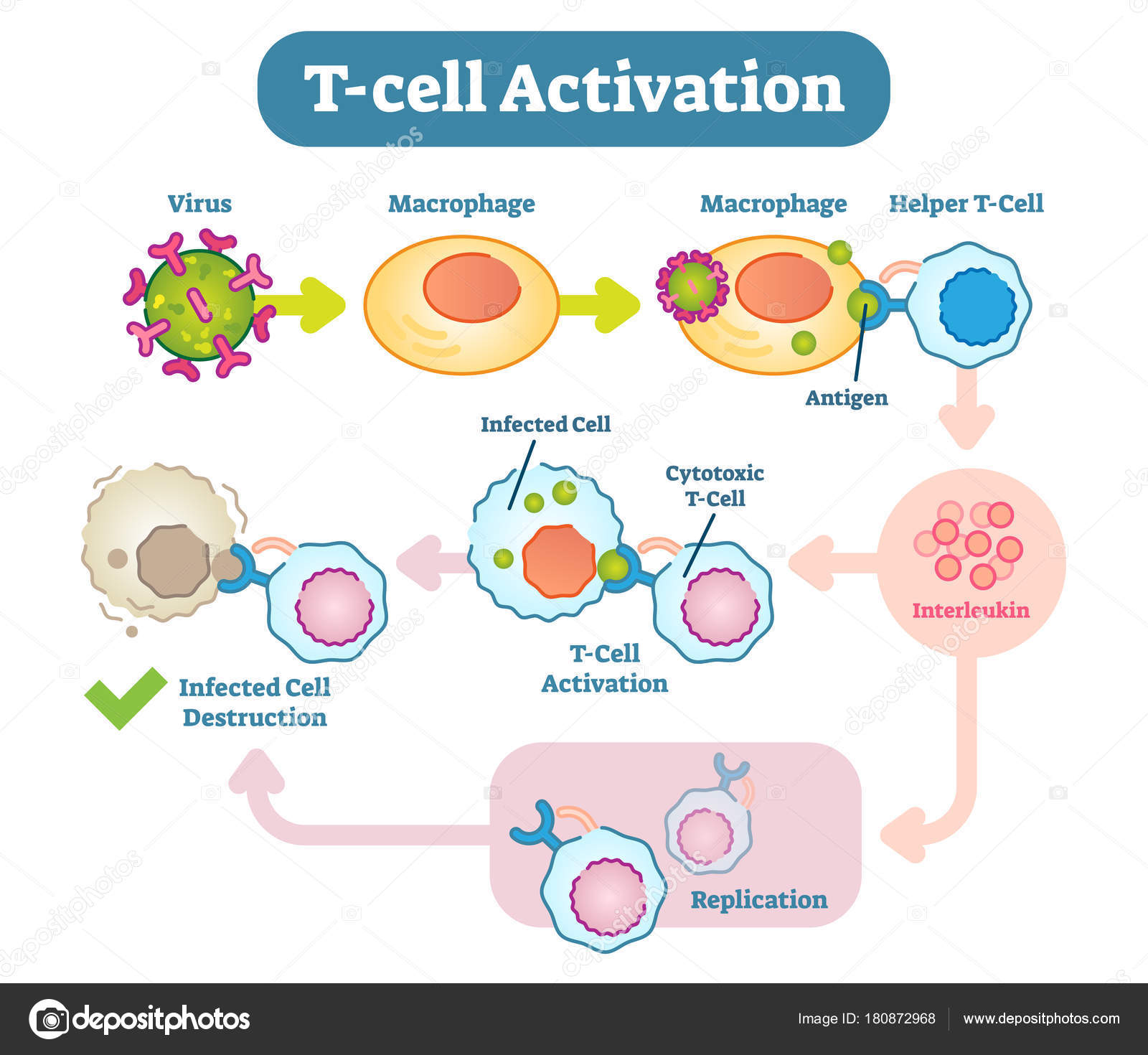 T cell activation diagram vector scheme illustration stock a t cell or t lymphocyte is a type of lymphocyte a subtype of white blood cell that plays a central role in cell mediated immunity vector by normaals ccuart Images