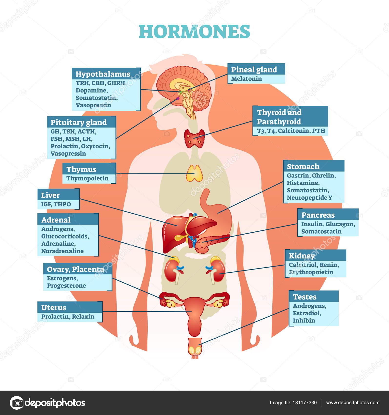 Diagrama de la ilustración del vector de hormonas del cuerpo humano ...
