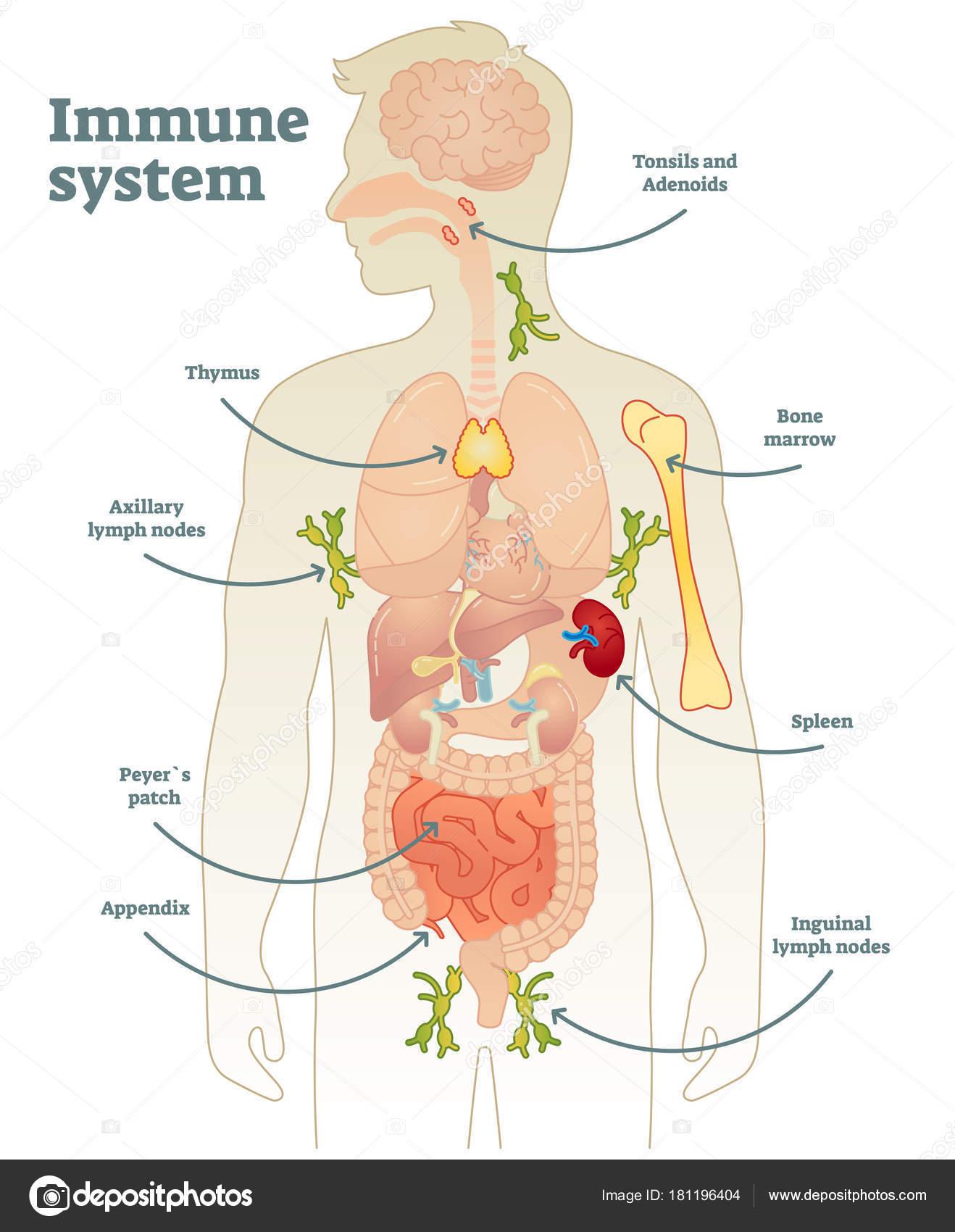 Diagrama sistema inmunológico humano — Archivo Imágenes Vectoriales ...
