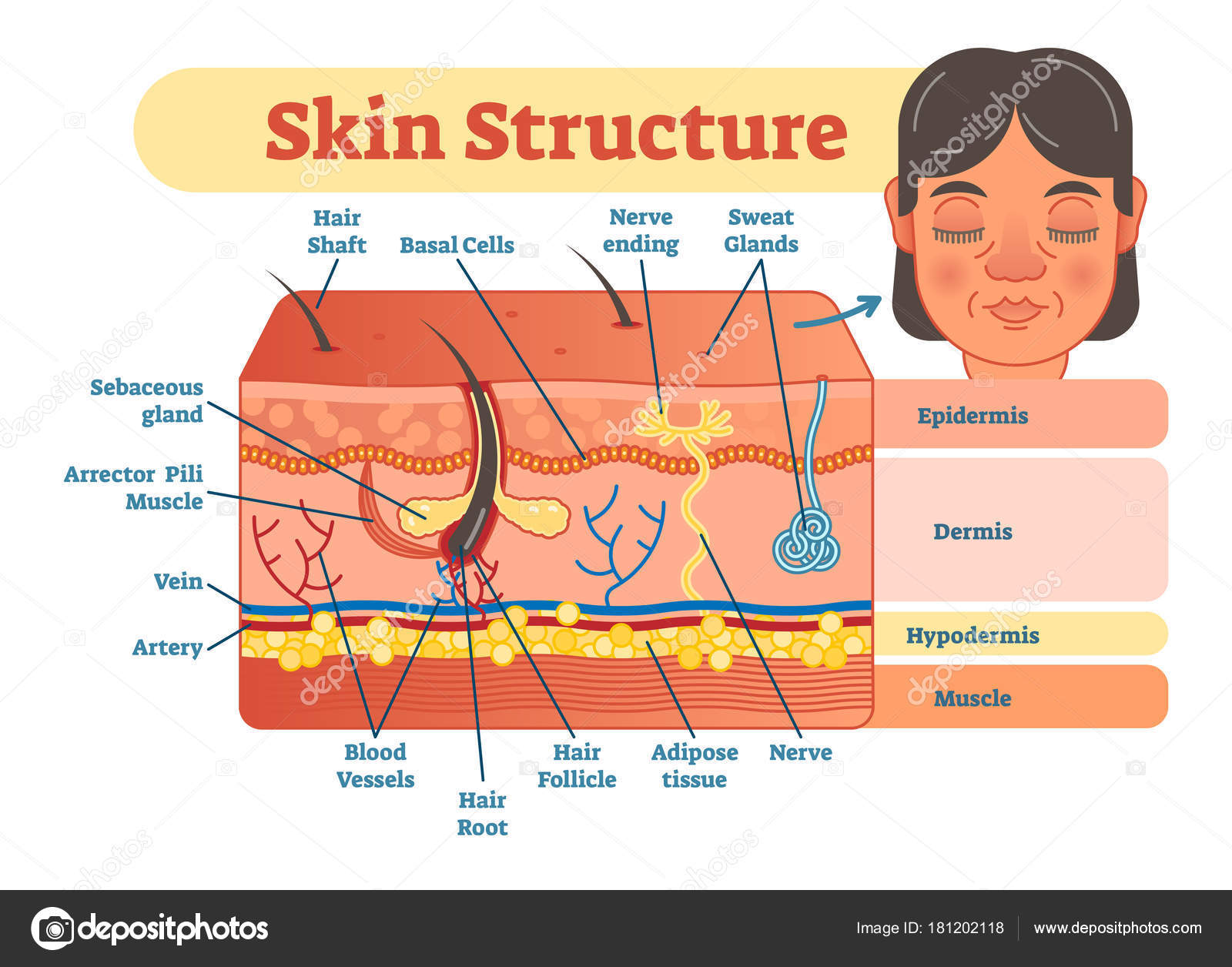 Skin structure vector illustration diagram stock vector skin structure vector illustration diagram with skin layers and main elements educational medical dermatology information vector by normaals pooptronica Image collections