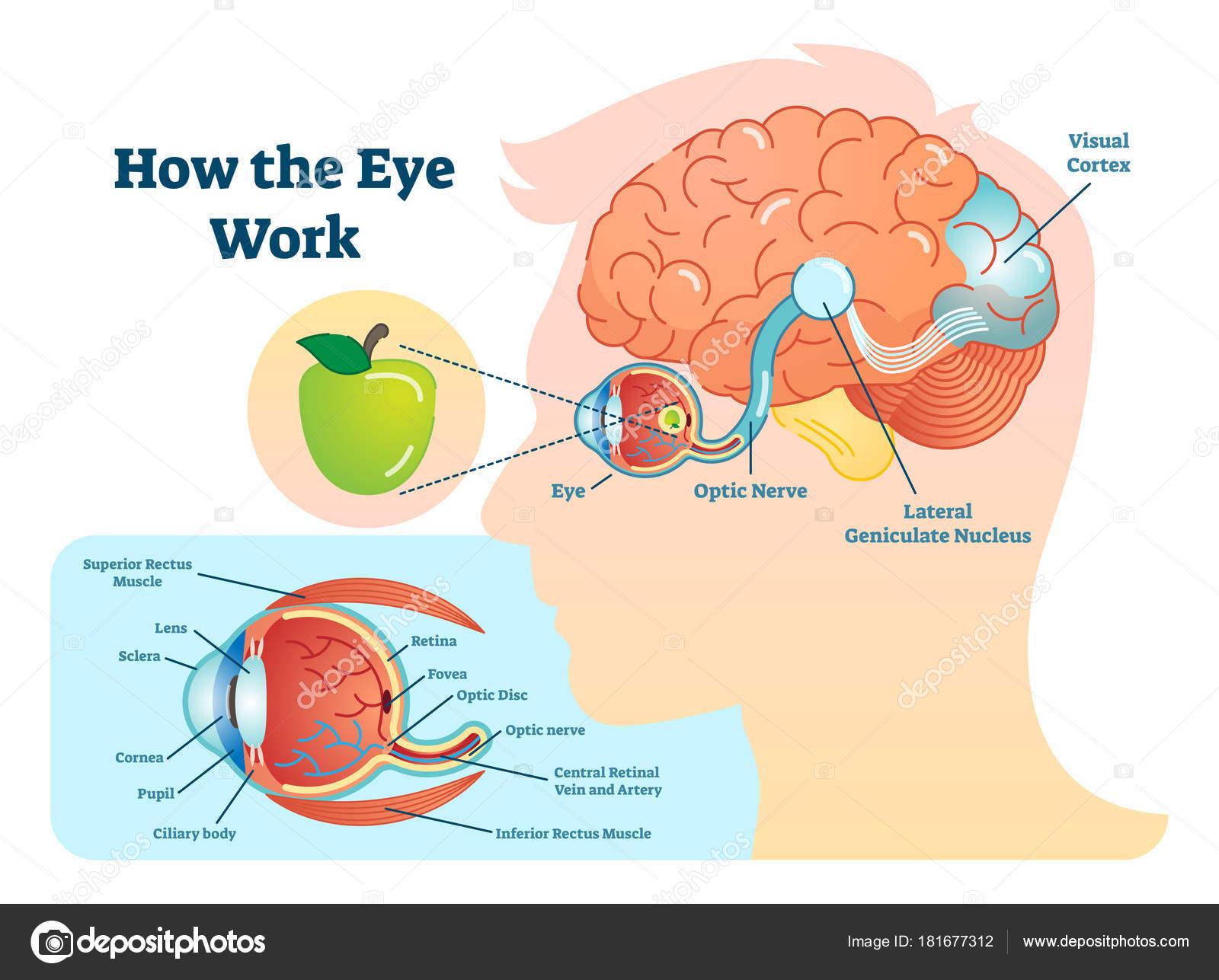 Cómo ojo trabajo ilustración médica, ojo - diagrama del cerebro ...