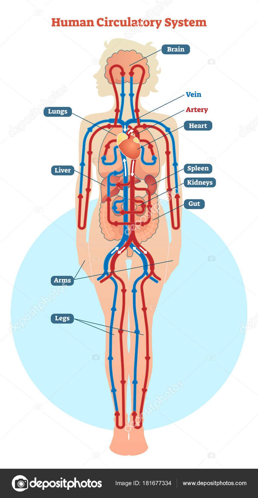 Humano sistema circulatorio diagrama de la ilustración vectorial ...
