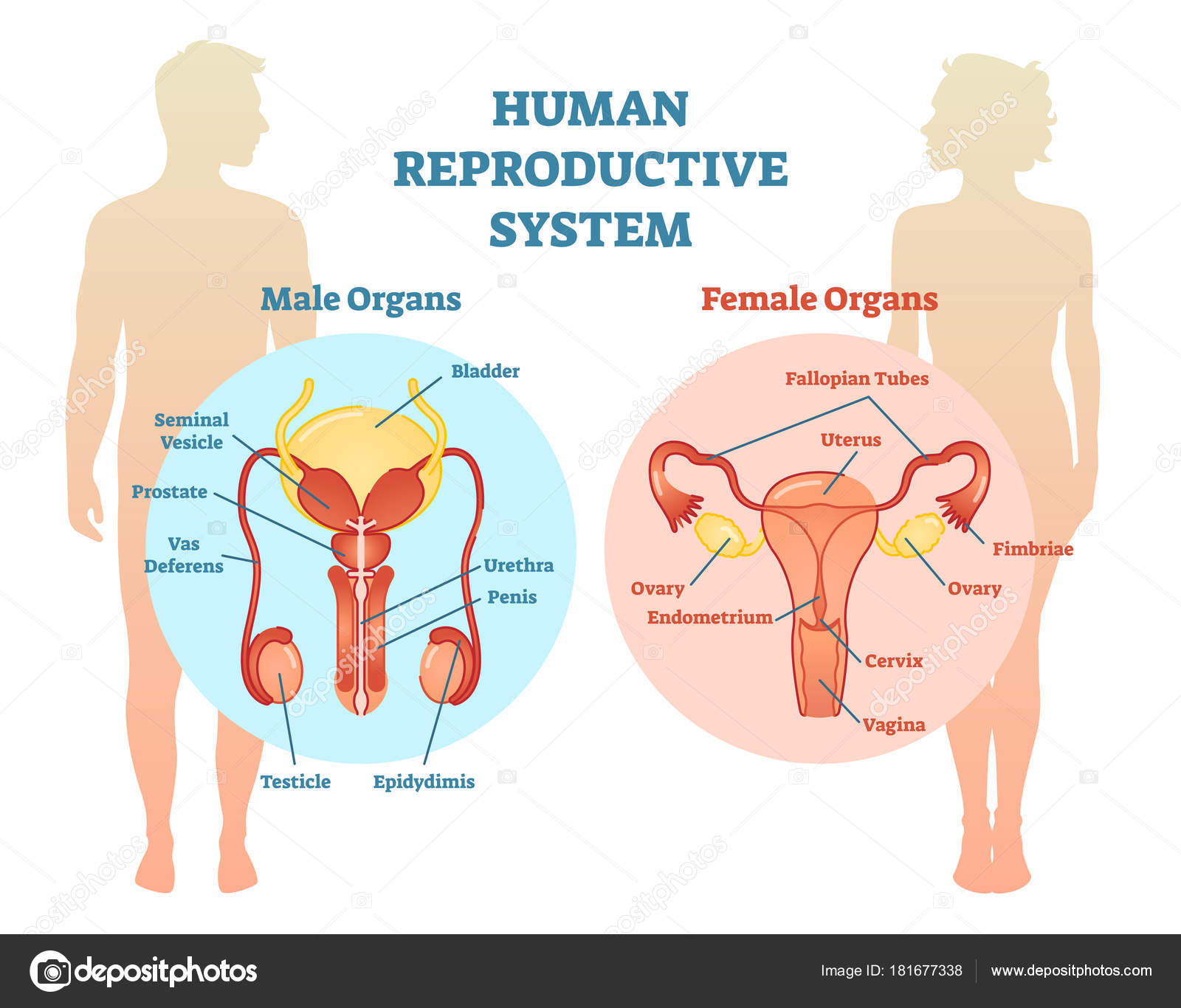 Human Reproductive System Vector Illustration Diagram Male And