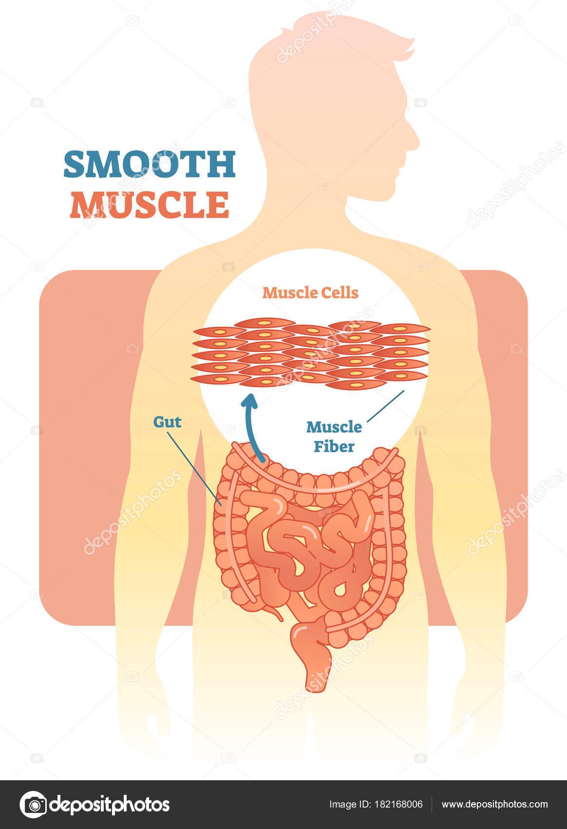 Músculo liso vector ilustración diagrama esquema anatómico con ...