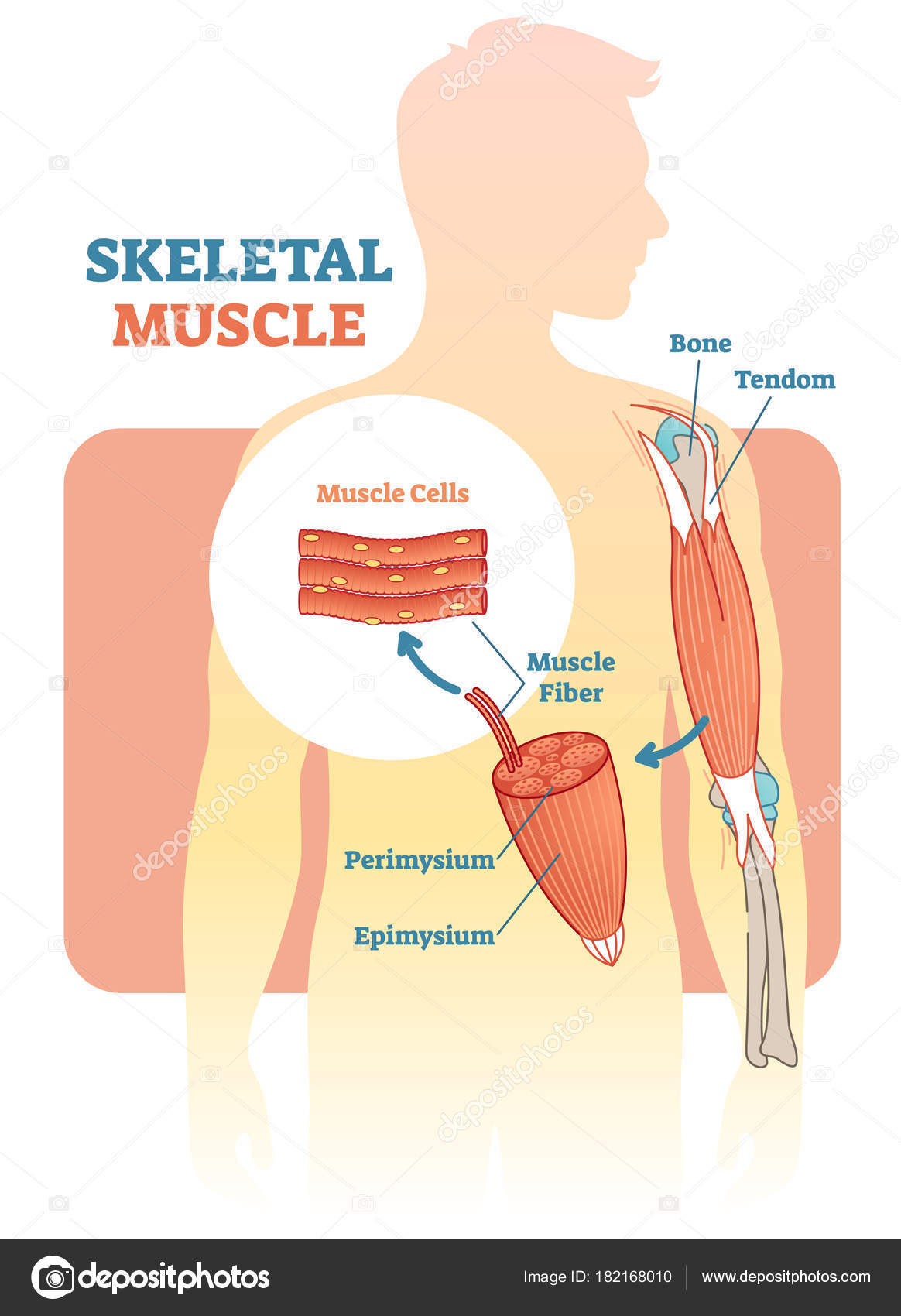 Skeletal Muscle Vector Illustration Diagram Anatomical Scheme With