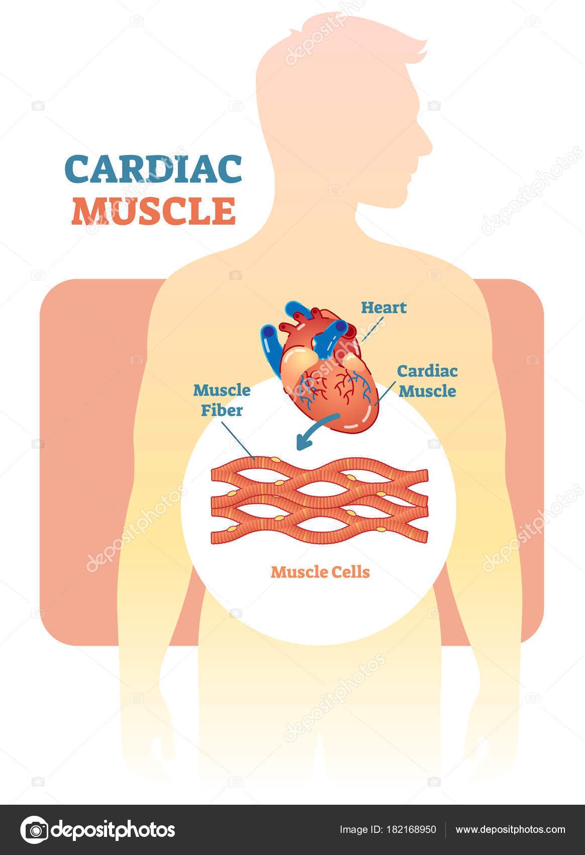 Músculo cardiaco vector ilustración diagrama esquema anatómico con ...