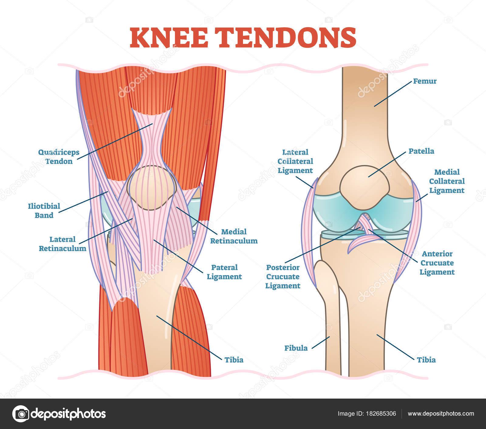 Los tendones médica vector ilustración esquema diagrama anatómico de ...