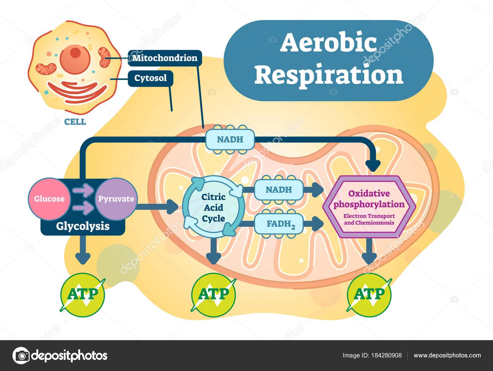 Diagrama respiración aerobia del ilustración vector anatómica bio ...
