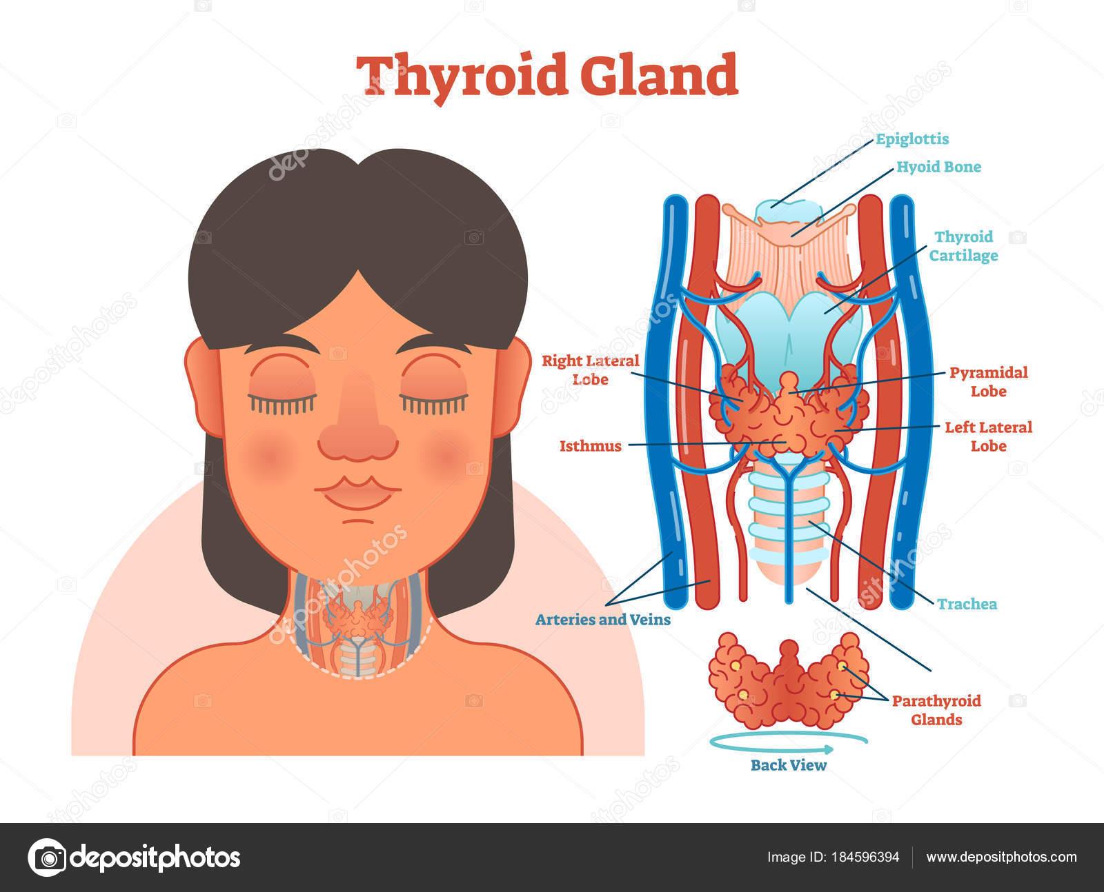 Glándula tiroides anatómica ilustración diagrama vectorial, plan ...