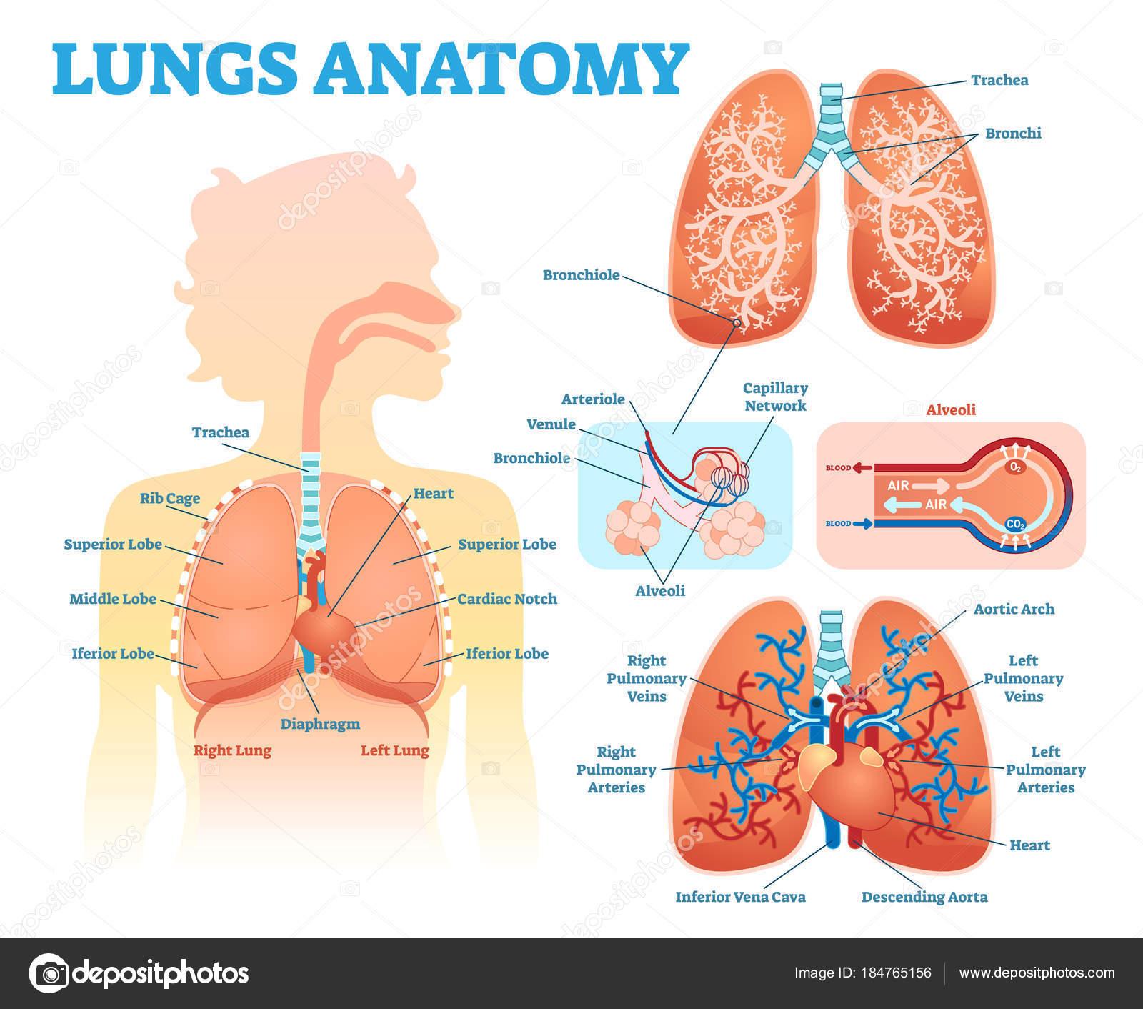 Los pulmones anatomía médica ilustración diagrama vectorial con ...