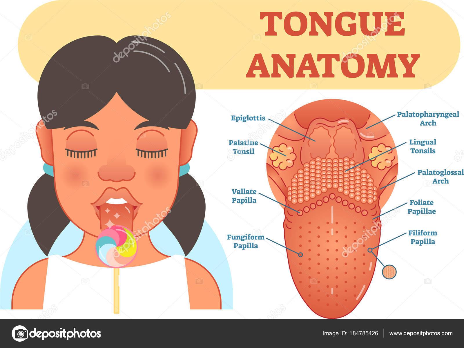Tongue anatomy medical vector illustration diagram stock vector tongue anatomy medical vector illustration diagram with epiglottis tonsils and papillas vector by normaals pooptronica