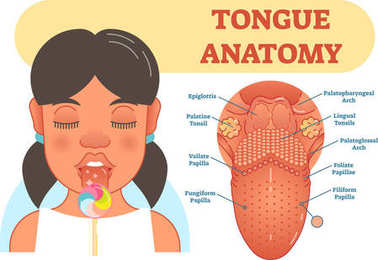 Tongue anatomy medical vector illustration diagram.