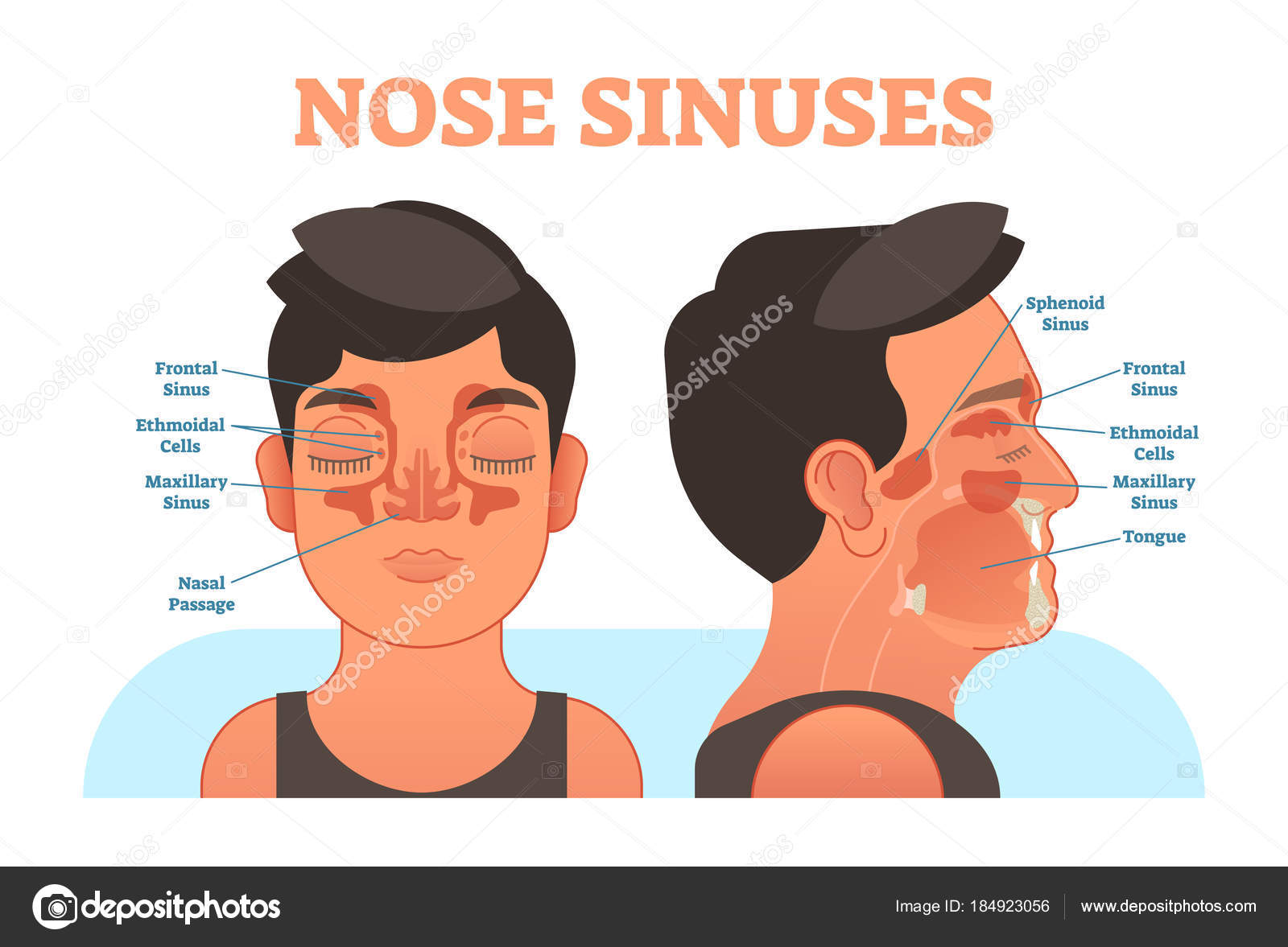 Nose sinuses anatomical vector illustration cross section. — Stock ...