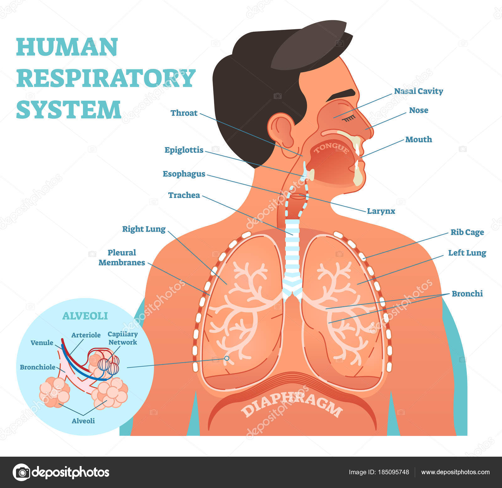 Human respiratory system anatomical vector illustration medical human respiratory system anatomical vector illustration medical education cross section diagram with nasal cavity throat esophagus trachea lungs and ccuart Images