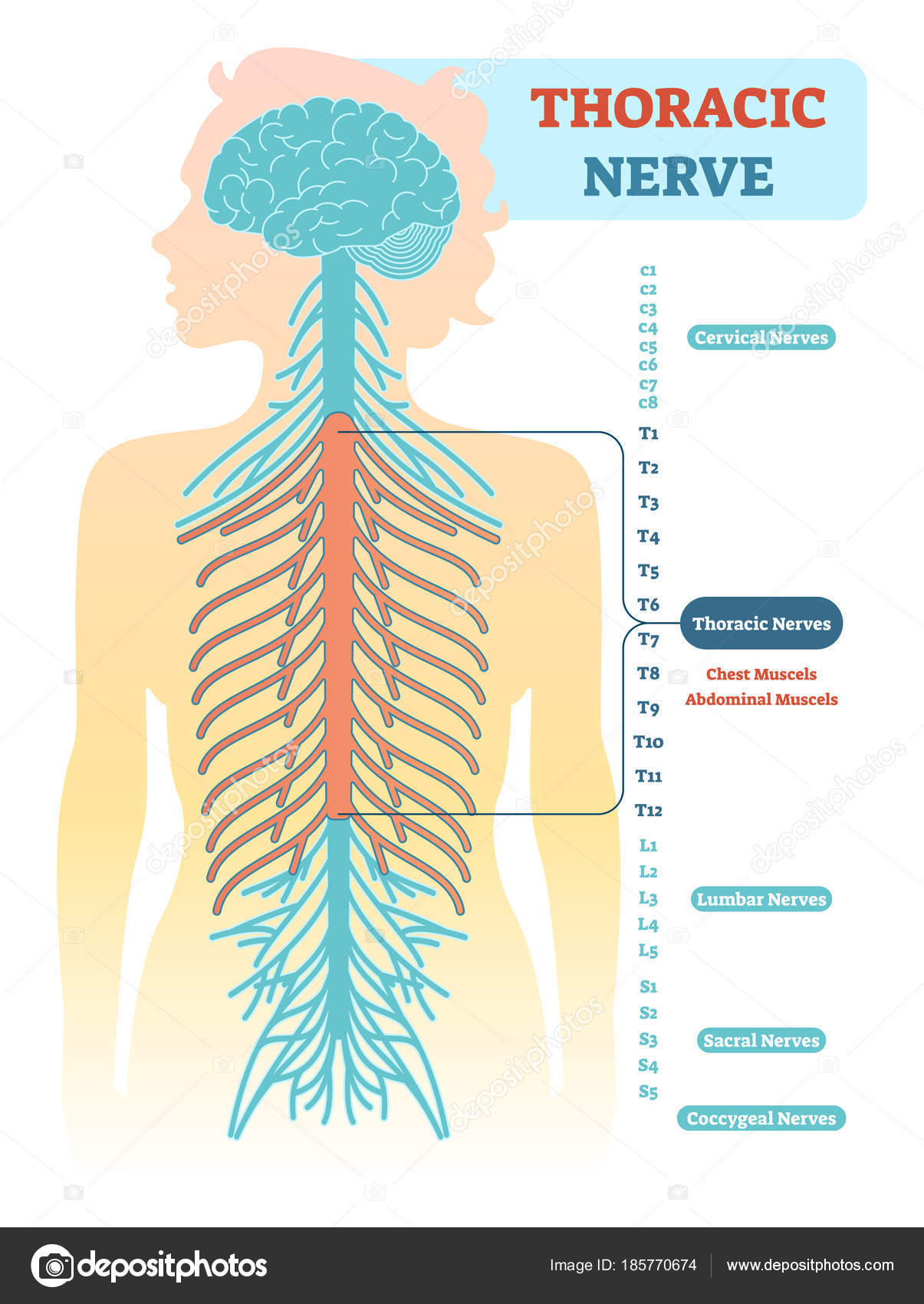 Thoracic nerve anatomical diagram, medical scheme vector ...