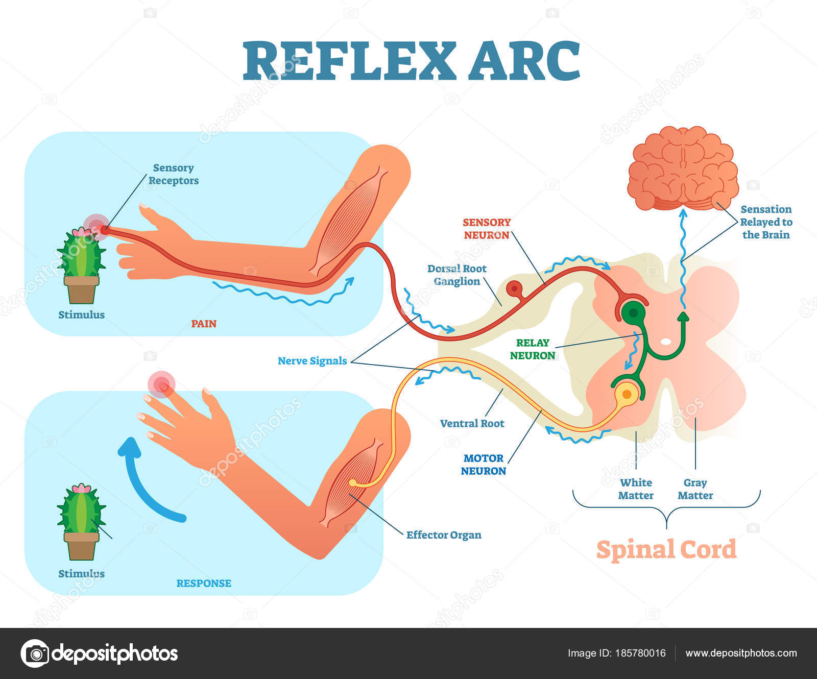 Spinal reflex arc anatomical scheme vector illustration with vector illustration with spinal cord stimulus pathway to the sensory neuron relay neuron motor neuron and muscle tissue educational diagram ccuart Gallery