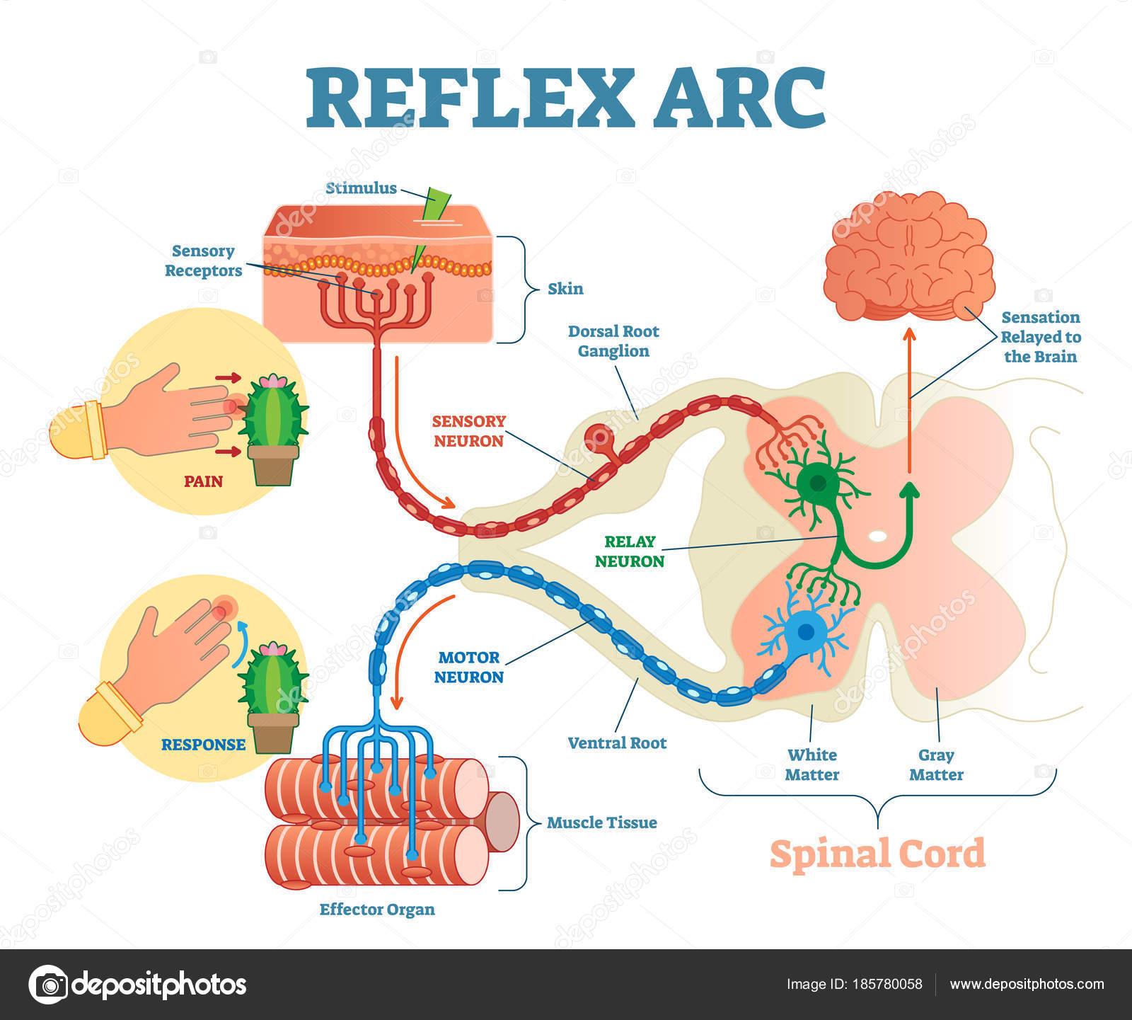 Spinal Reflex Arc anatomical scheme, vector illustration, with ...