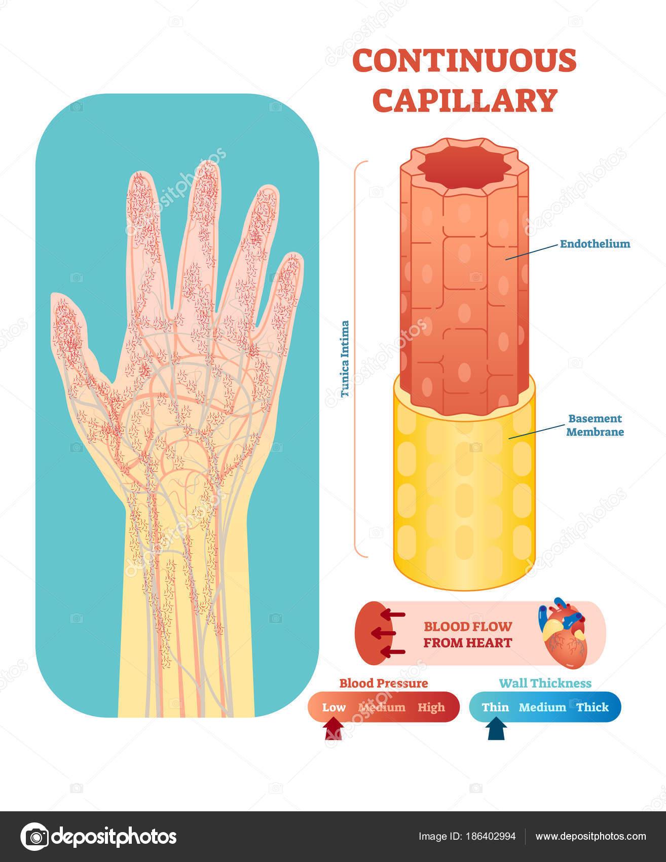 Ilustración de vector anatomía capilar continua sección. Sistema ...