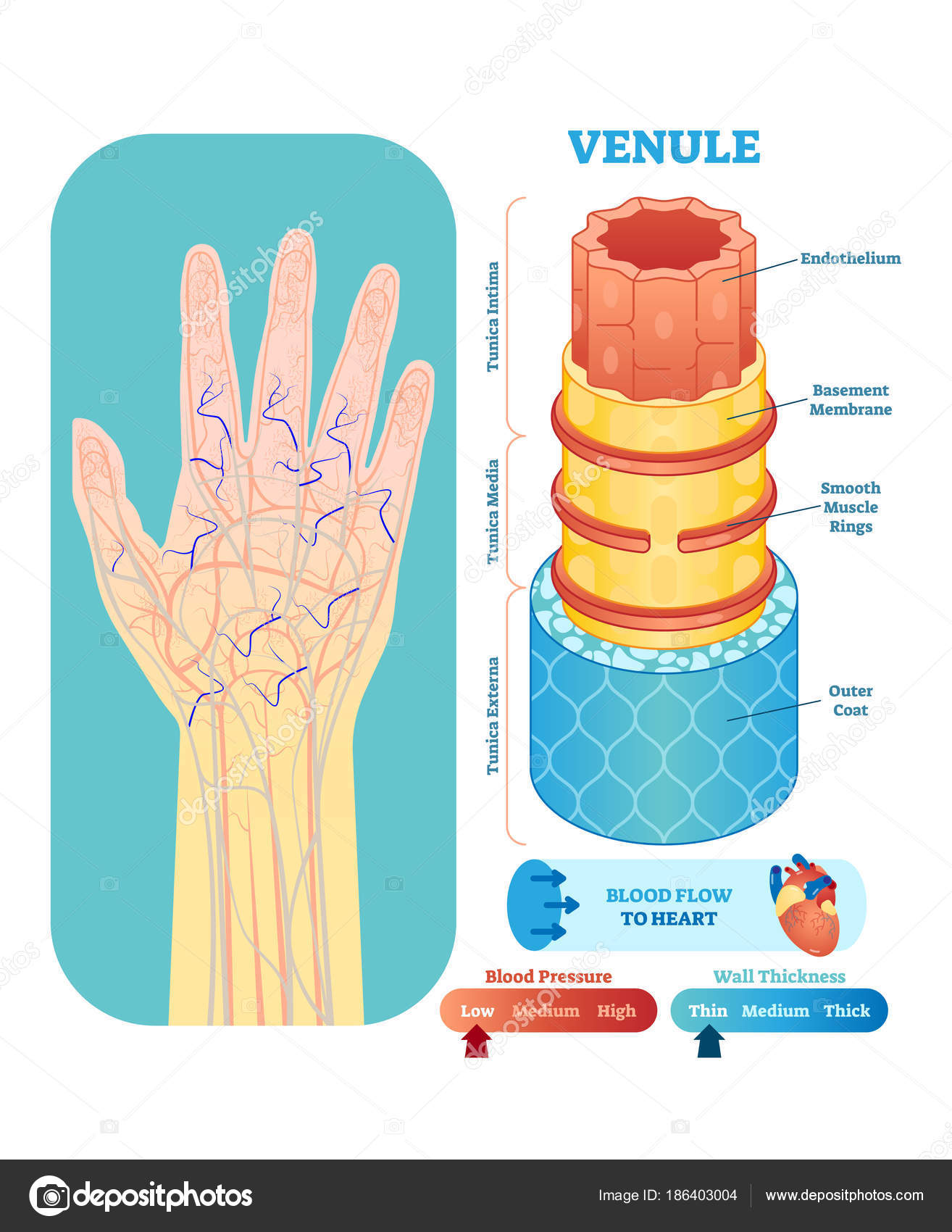 Venule Anatomical Vector Illustration Cross Section Circulatory