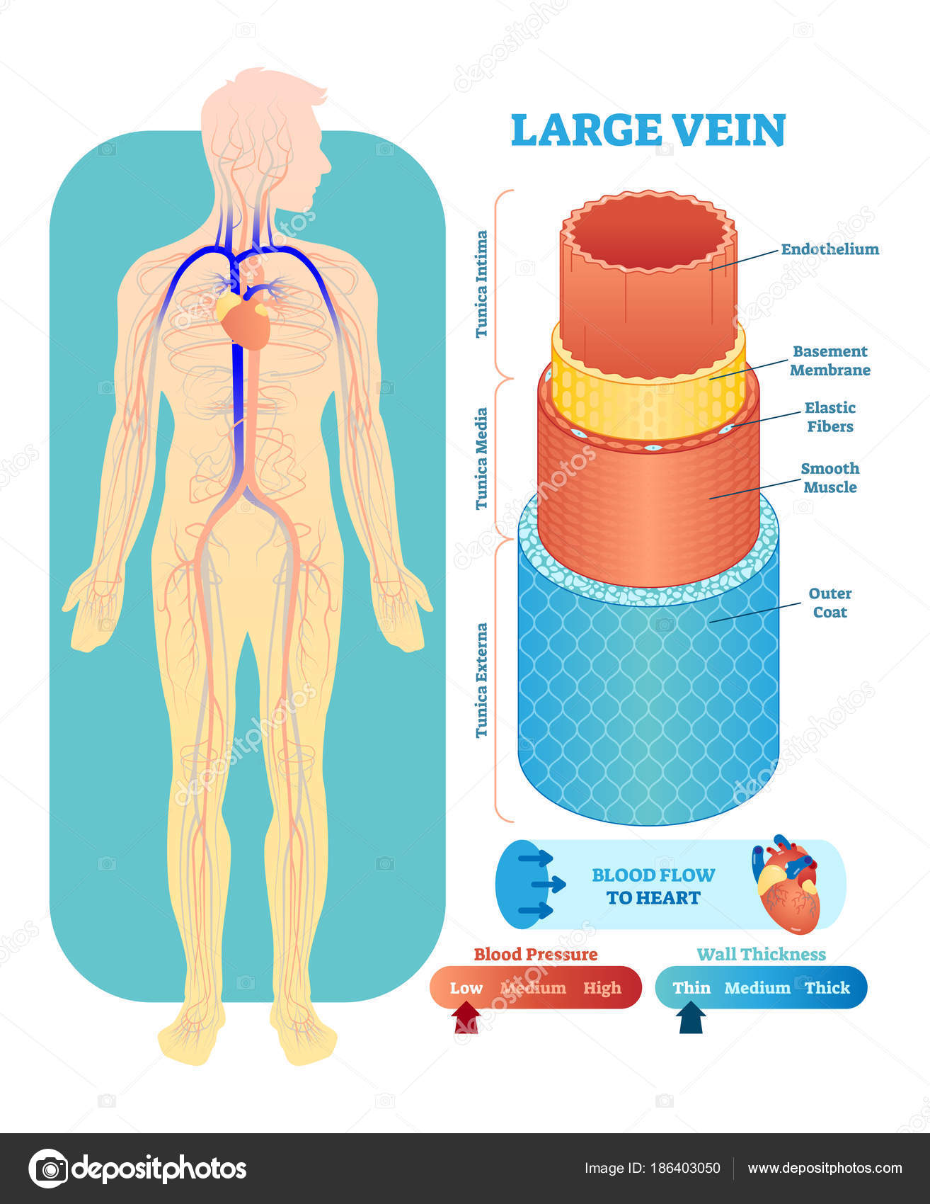 Ilustración de vector anatómica vena grande sección. Aparato ...