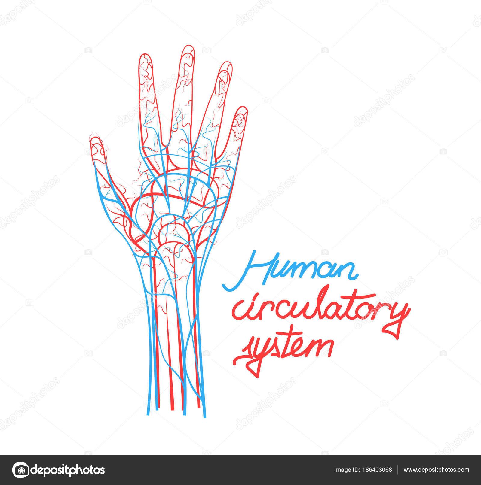 Conceptual humano sistema circulatorio. Esquema de los vasos ...
