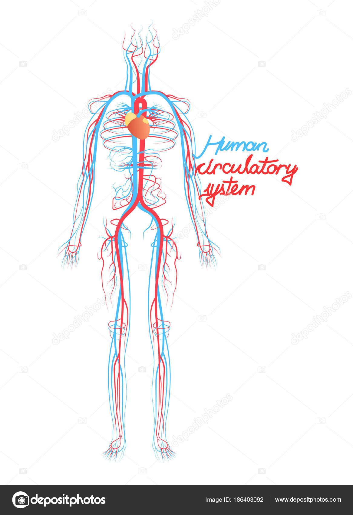 Gemütlich Blutgefäße Kreislaufsystem Galerie - Menschliche Anatomie ...