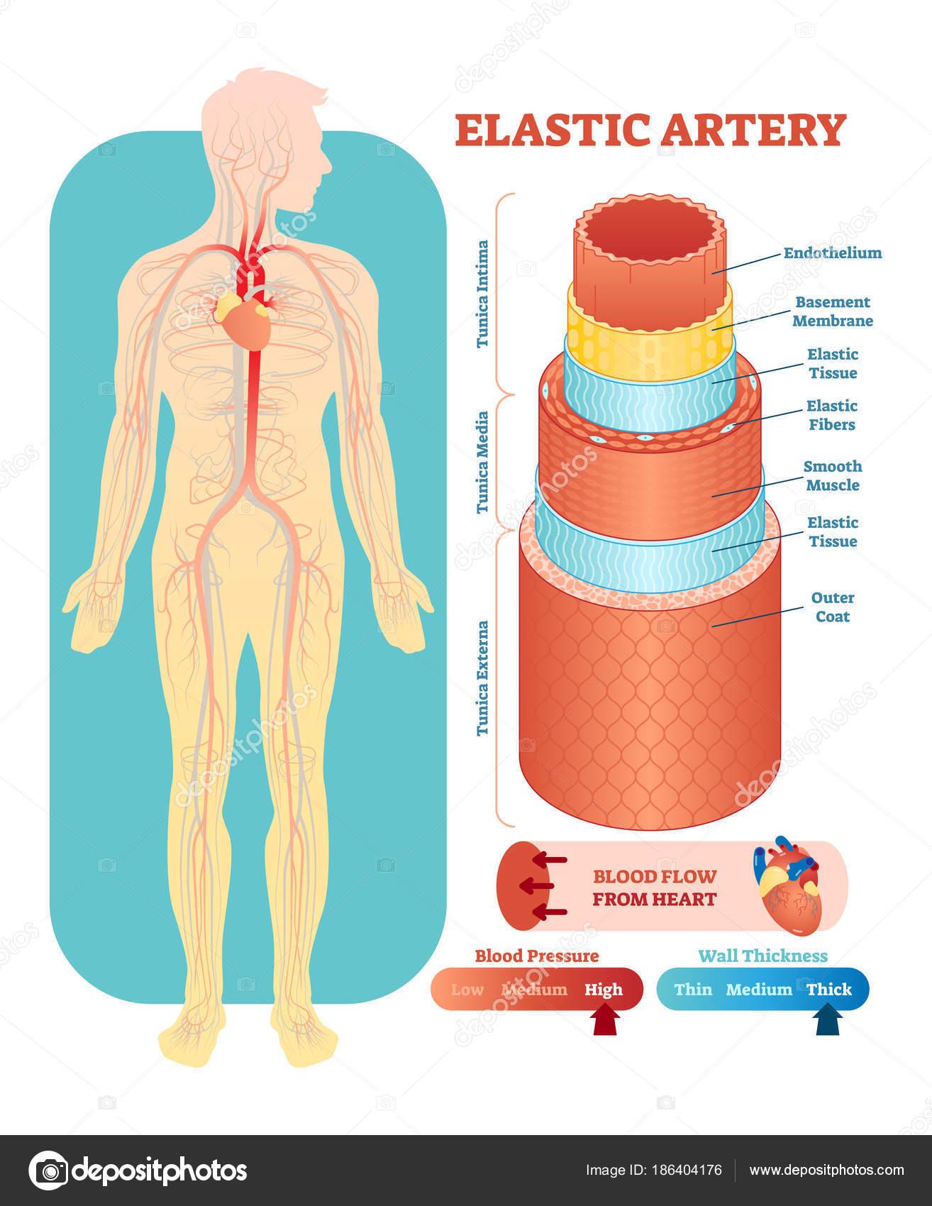 Querschnitt durch elastische Arterie anatomische Vektor-Illustration ...