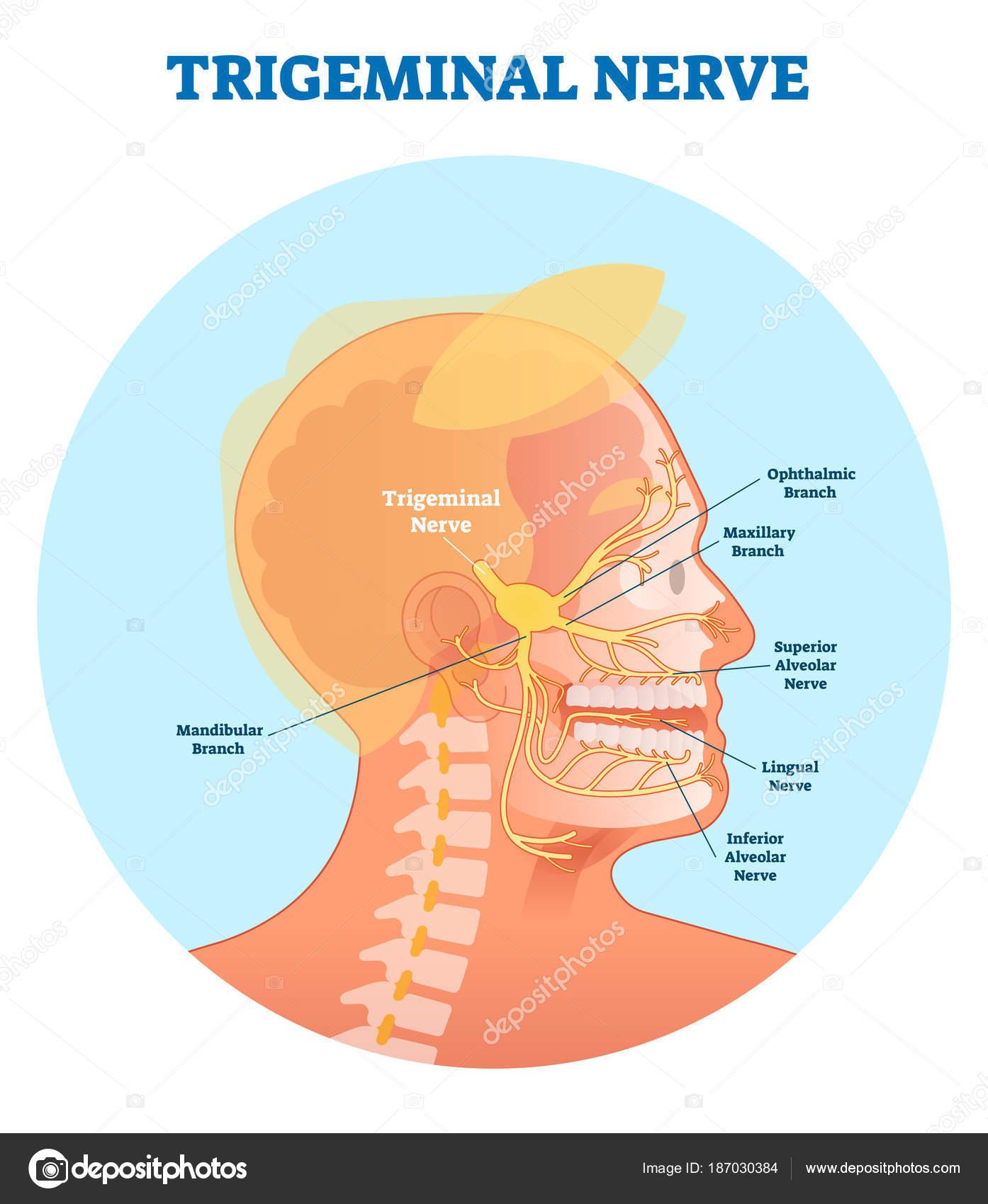 Trigeminal nerve anatomical vector illustration diagram with human ...