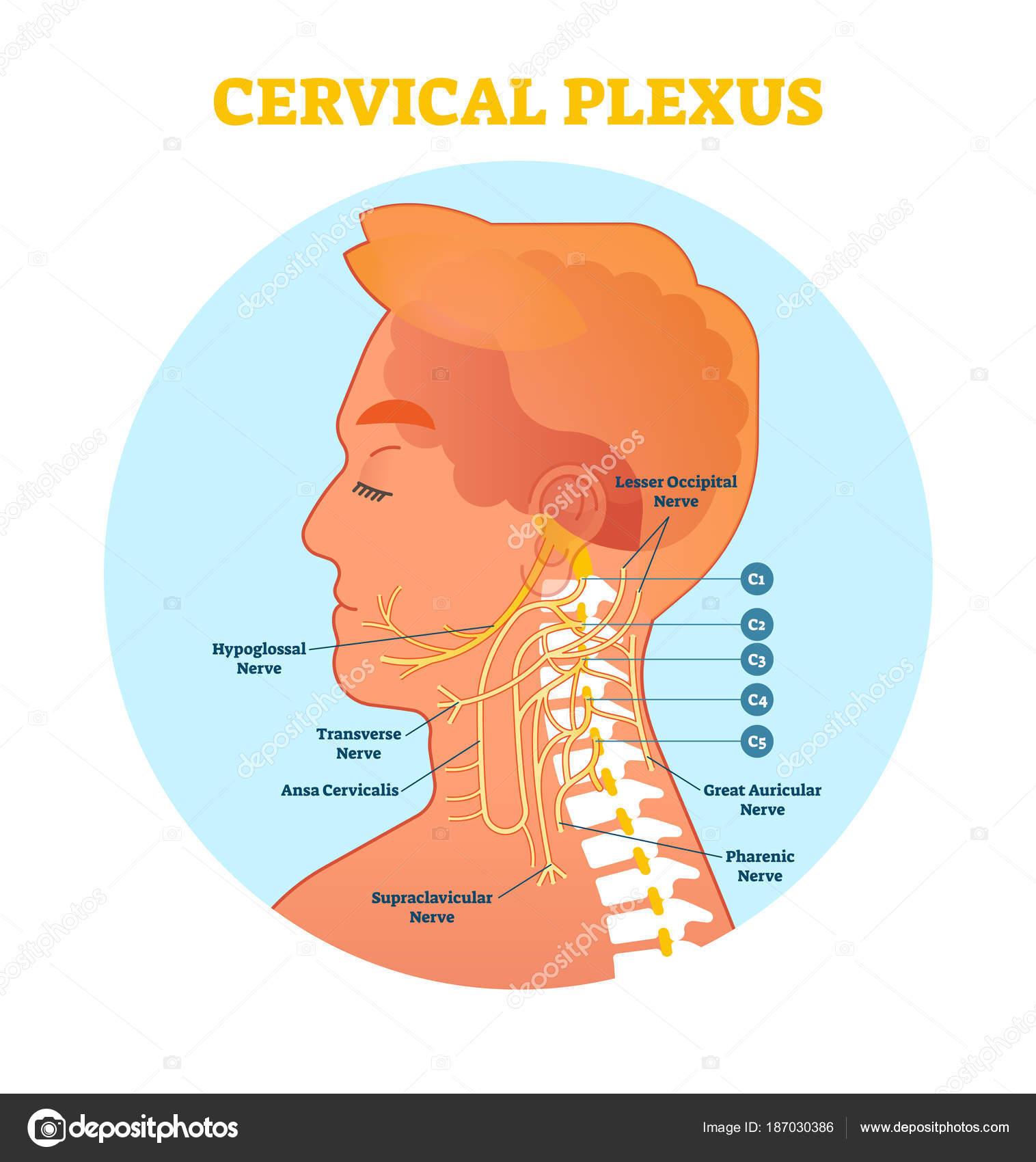 Sección de diagrama de anatómica del nervio del plexo cervical ...