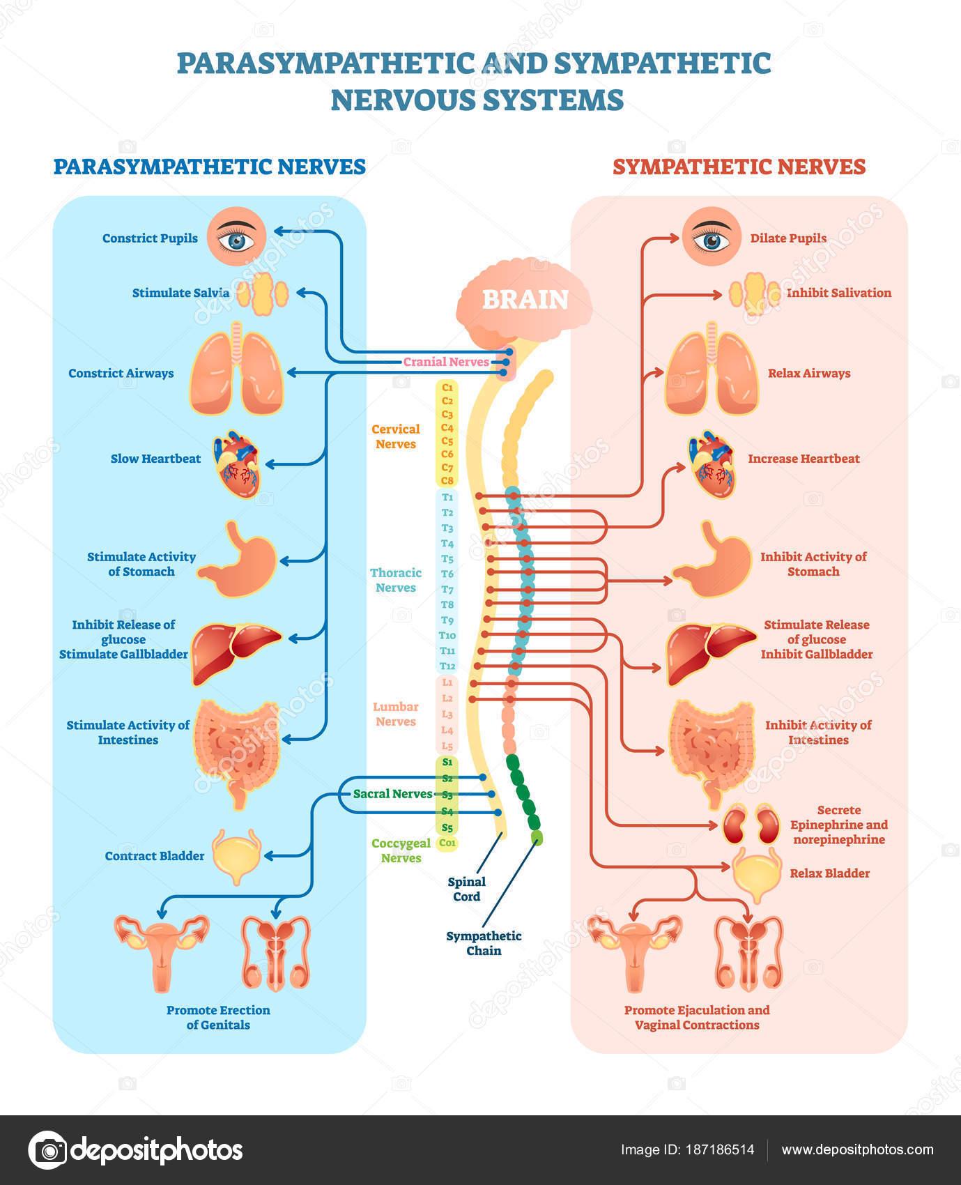 Sistema nervioso humano diagrama de la ilustración del vector médica ...