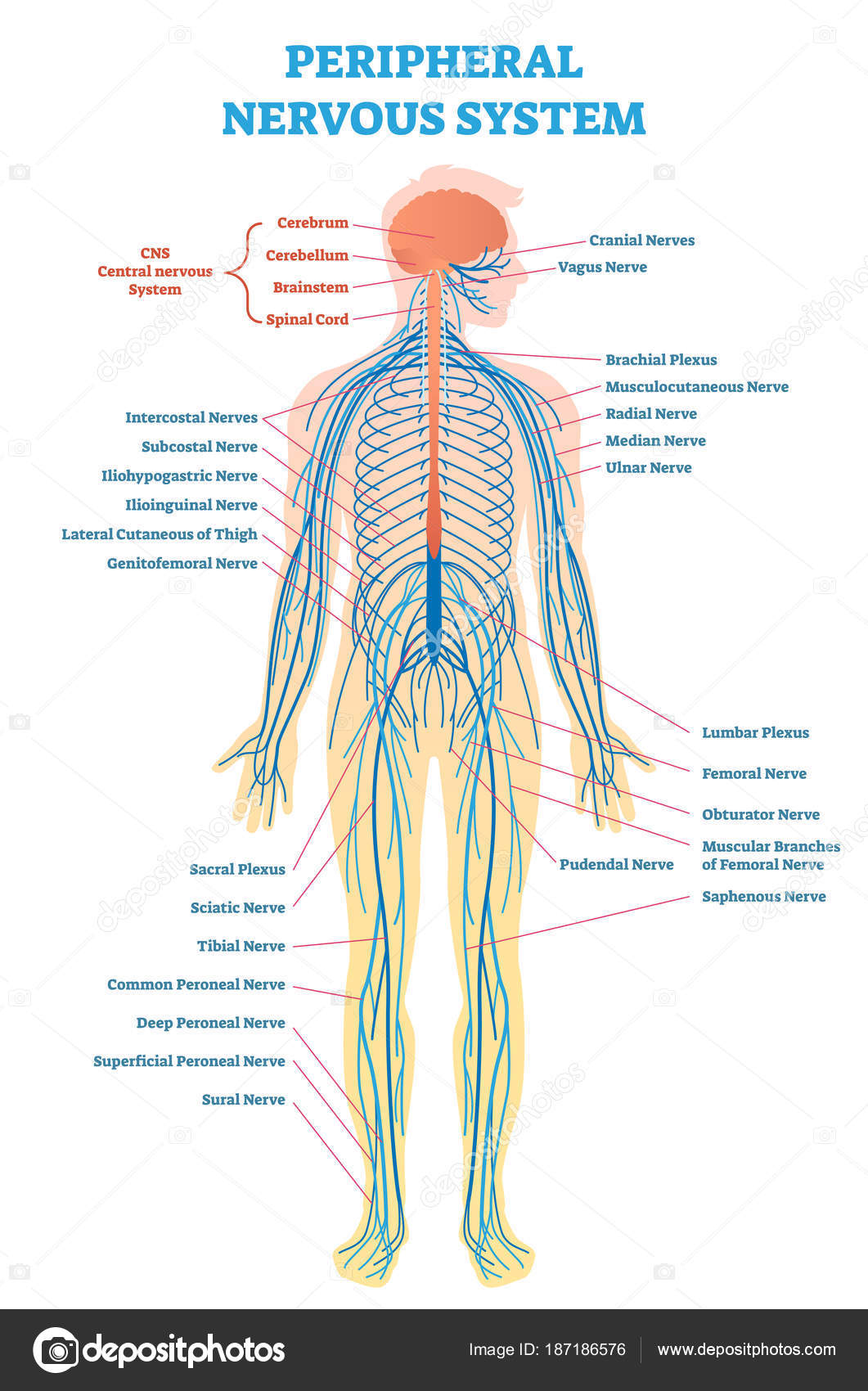Peripheral nervous system, medical vector illustration diagram with ...