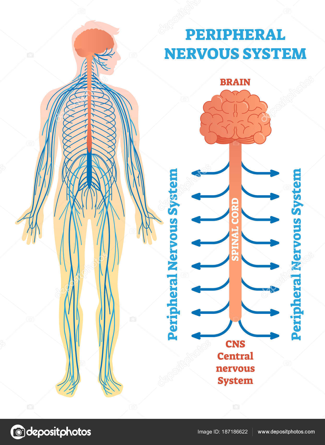 peripheral nervous system, medical vector illustration diagram with