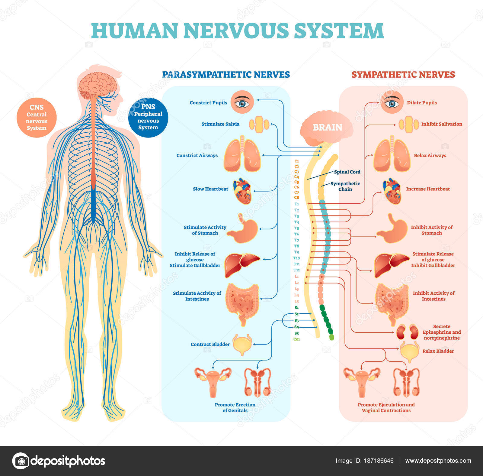 Human nervous system medical vector illustration diagram with human nervous system medical vector illustration diagram with parasympathetic and sympathetic nerves and all connected inner ccuart Gallery