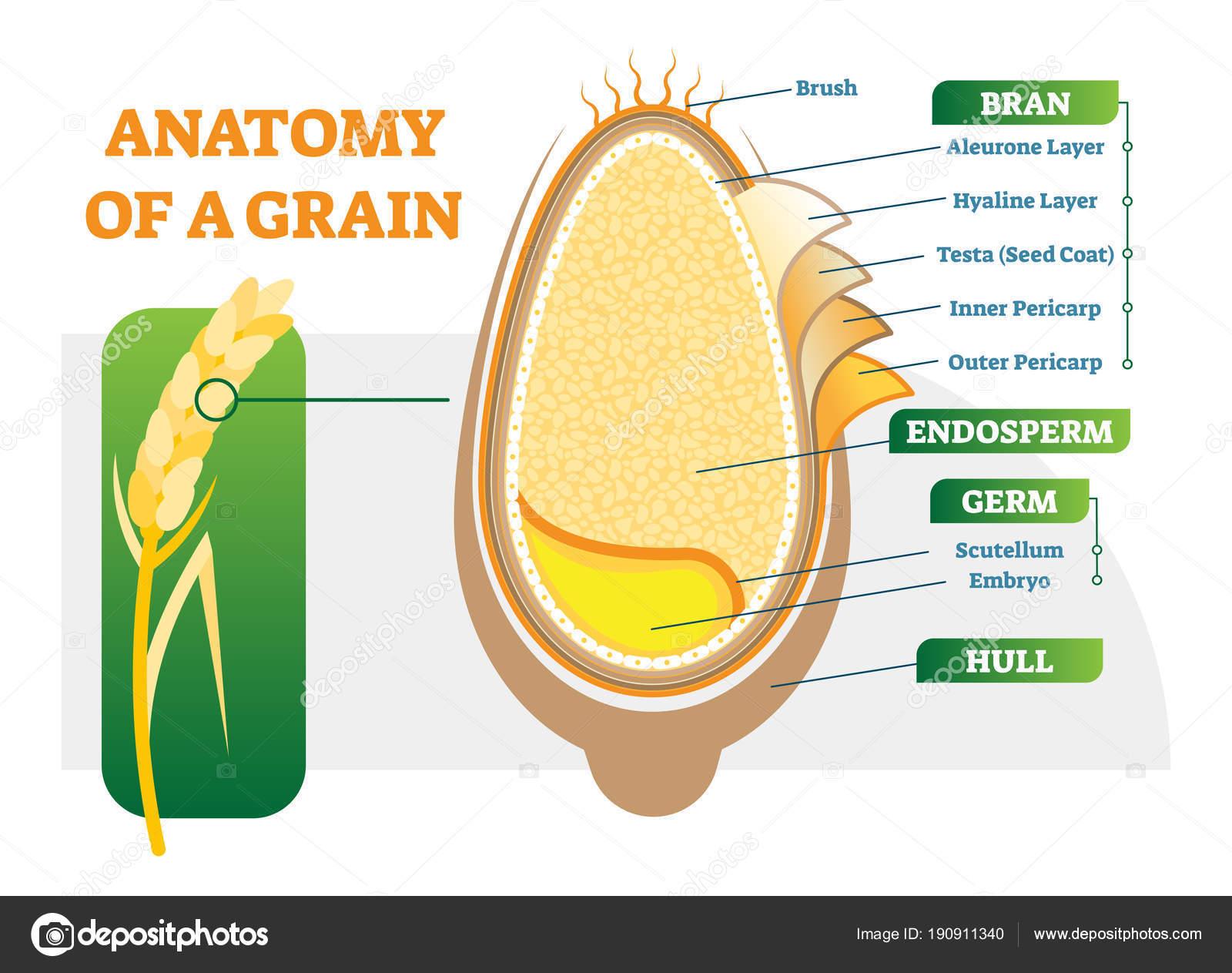 Diagrama de la ilustración del vector capas anatómicas del grano ...