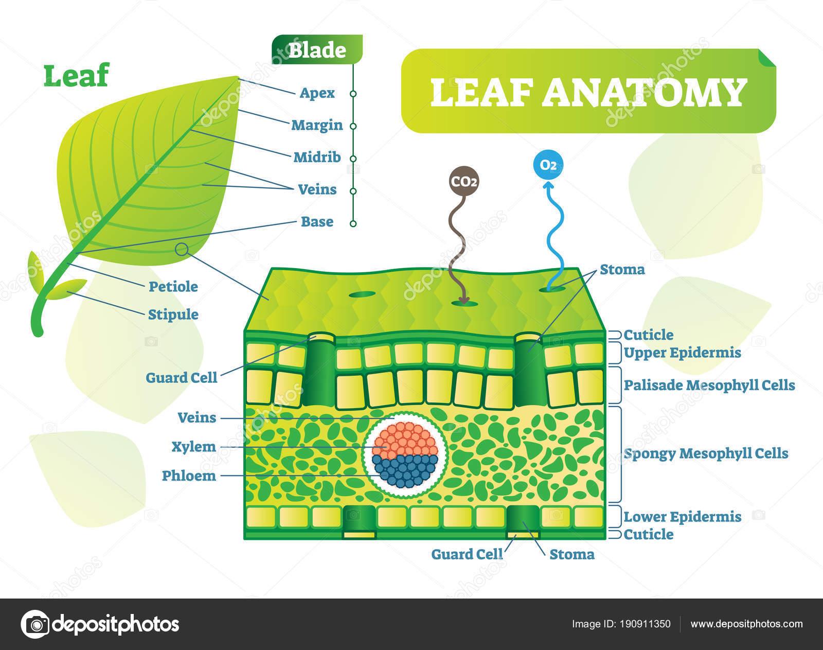 Diagrama de hoja anatomía vector ilustración. Cartel de esquema ...